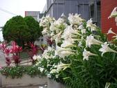 潔白純淨~百合花:後壁高中