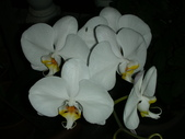 蝴蝶蘭,孤挺花,百合花:夜間的蝴蝶蘭