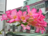 蝴蝶蘭,孤挺花,百合花:真美