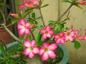 蝴蝶蘭,孤挺花,百合花:沙玫