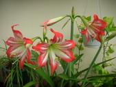 蝴蝶蘭,孤挺花,百合花:DSCN9462.JPG