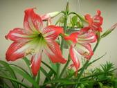 蝴蝶蘭,孤挺花,百合花:全開了