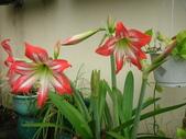 蝴蝶蘭,孤挺花,百合花:孤挺花