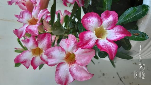 沙漠玫瑰花:20200505_174121.jpg