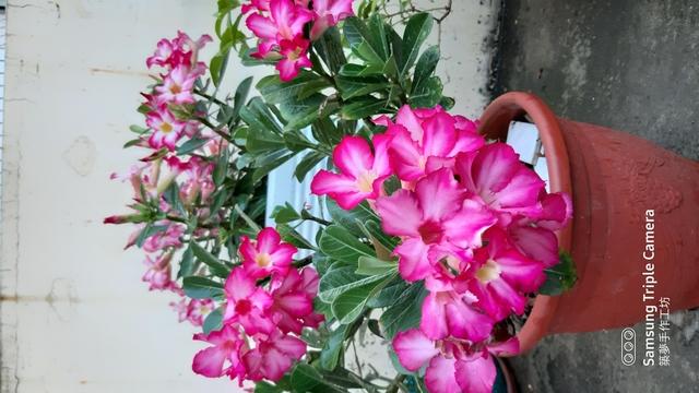 沙漠玫瑰花:20200505_174019.jpg