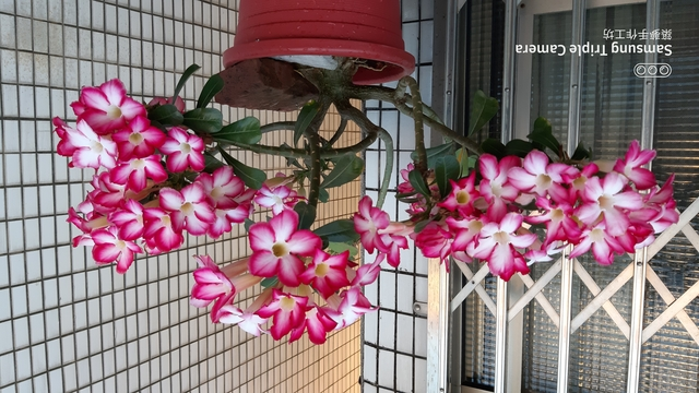 沙漠玫瑰花:20200505_173957.jpg