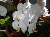 蝴蝶蘭,孤挺花,百合花:白色蝴蠂蘭.JPG