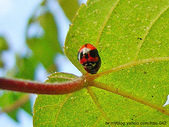 昆蟲相簿:六條瓢蟲 台北市 大安區