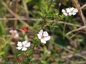 花花世界(二):光葉薔薇 台中 大肚山