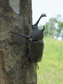 昆蟲相簿:獨角仙 宜蘭 五結