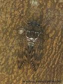 昆蟲相簿:琉球油蟬 沖繩 系滿