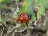 昆蟲相簿:七星瓢蟲 (台灣大學)