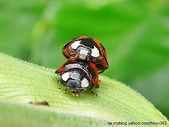 昆蟲相簿:錨紋瓢蟲 北海岸
