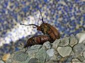 昆蟲相簿:褐豔騷金龜 士林 內雙溪