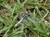 昆蟲相簿:扶桑蜻蜓 陽明山國家公園 冷水坑 ♂