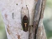昆蟲相簿:端黑蟬 台北 平溪