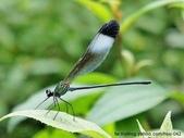 昆蟲相簿:中華珈蟌 台北 平溪