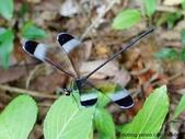 昆蟲相簿:中華珈蟌 台北 士林 內雙溪