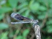 昆蟲相簿:短腹幽蟌♀ 台北 內雙溪