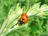 昆蟲相簿:七星瓢蟲 苗栗 西湖