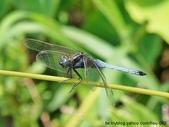 昆蟲相簿:金黃蜻蜓 台北 坪林
