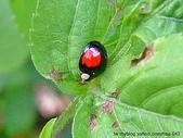 昆蟲相簿:赤星瓢蟲 淡水