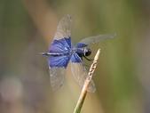 昆蟲相簿:三角蜻蜓 新北 汐止 夢湖