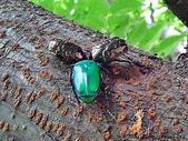 昆蟲相簿:台灣欒樹上的金龜