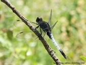昆蟲相簿:鼎脈蜻蜓 台北 士林