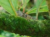 昆蟲相簿:青面姬春蟬 基隆火山群