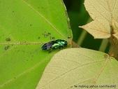 昆蟲相簿:綠翅細長吉丁蟲 礁溪