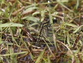 昆蟲相簿:扶桑蜻蜓 陽明山國家公園 冷水坑