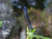 昆蟲相簿:中華珈蟌(南台亞種) ♂蟲 中橫 長春祠