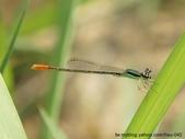 昆蟲相簿:白粉細蟌 未熟♂ 台北 內湖
