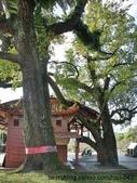 神木.老樹:東勢 新伯公廟 老樟樹 及 老楓香
