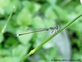 昆蟲相簿:青紋細蟌 台北 士林 外雙溪