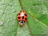 昆蟲相簿:六條瓢蟲 竹北