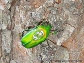 昆蟲相簿:金艷騷金龜♀