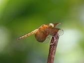 昆蟲相簿:善變蜻蜓 娥眉 十五寮