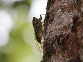 昆蟲相簿:鼈甲暮蟬 ♀蟲 宜蘭 太平山車道