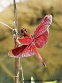 昆蟲相簿:善變蜻蜓 雙溪 柑腳