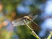 昆蟲相簿:焰紅蜻蜓 ♀ 陽明山國家公園 竹子湖