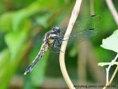 昆蟲相簿:灰黑蜻蜓 雙溪 平林