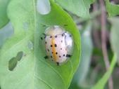 昆蟲相簿:大黑星龜金花蟲