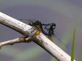 昆蟲相簿:漆黑蜻蜓 汐止 夢湖