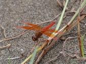昆蟲相簿:褐斑蜻蜓 新竹 新豐
