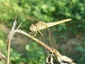 昆蟲相簿:猩紅蜻蜓♀ 台北 內溝