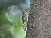 昆蟲相簿:陽明山暮蟬 陽明山國家公園 馬槽