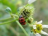 昆蟲相簿:六條瓢蟲 台北市 中山區