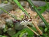 昆蟲相簿:台灣角金龜♂